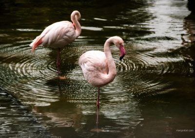 Flamingos in einem Park in Hong Kong